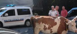 vaca 2 (1)